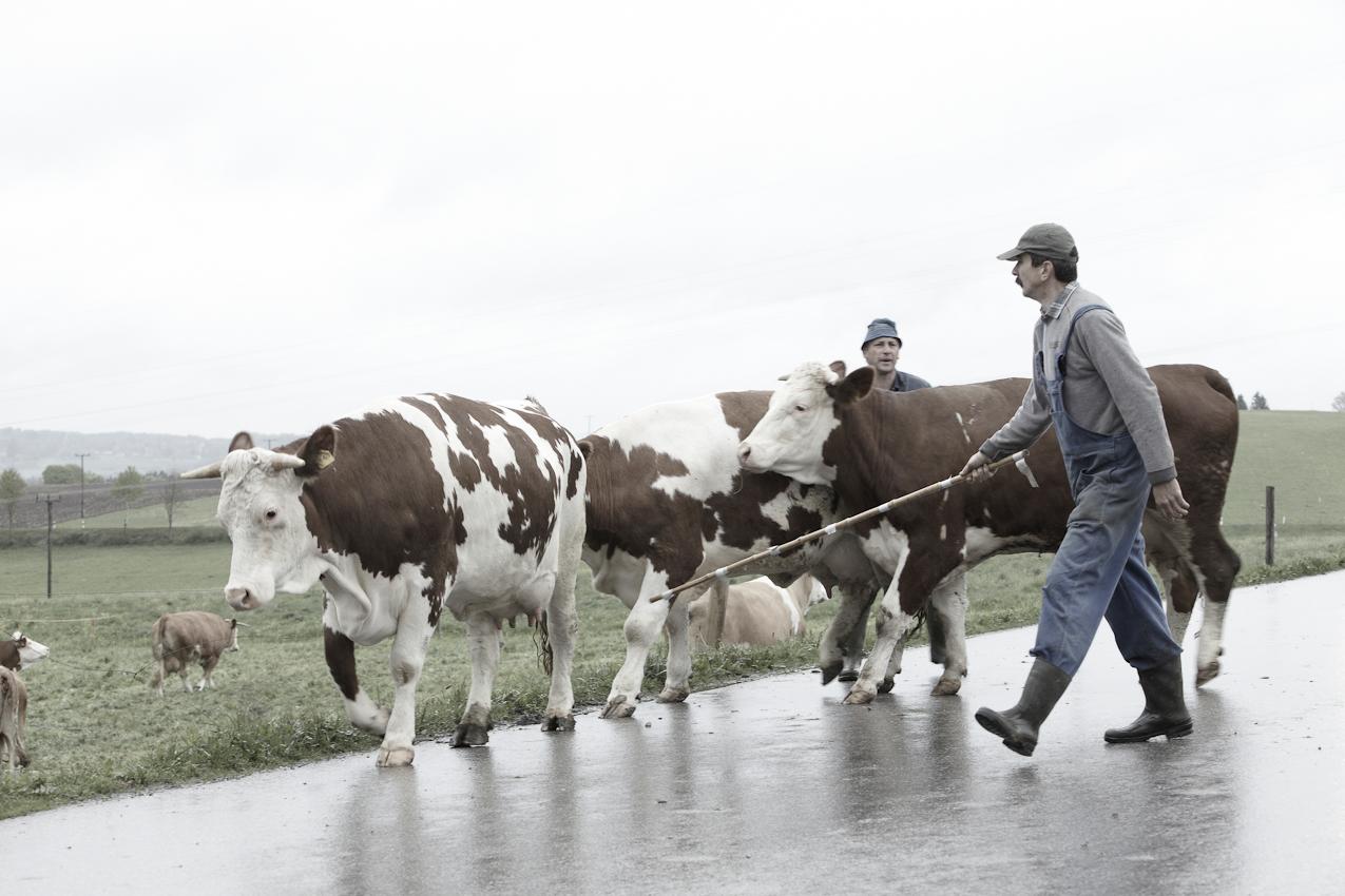 Im oberbayrischen Nuefahrn bei Egling treiben Landwirt Albert Biechele und sein Helfer die Milchkühe auf die nahe Weide aus.