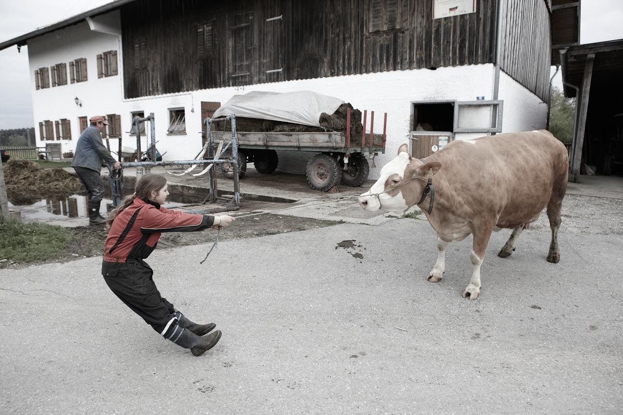Bauerntochter Franziska zieht die unwillige Milchkuh Susi zum Klauenschneiden in im oberbayrischen Neufahrn/ Egling, Vater Johann bereitet den Klauenpflegestand vor