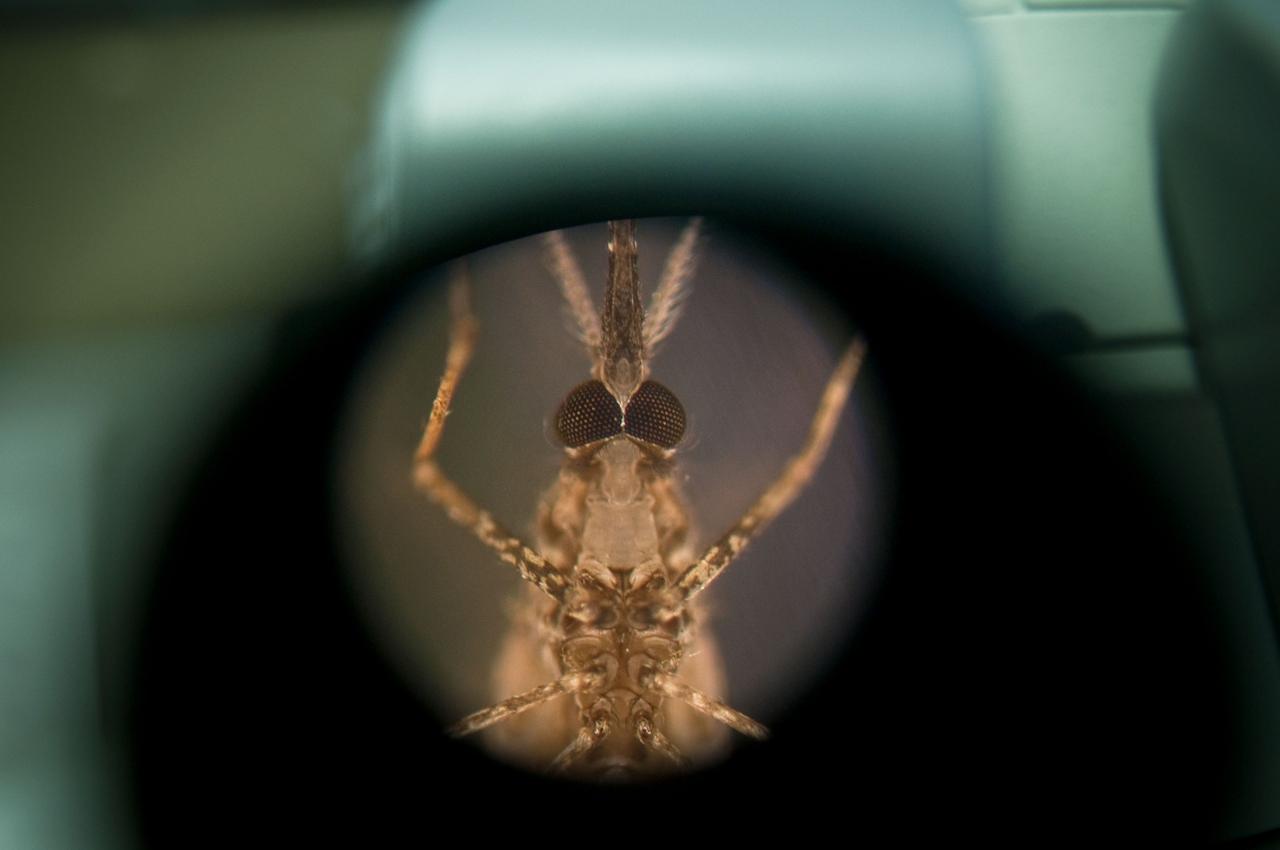 Eine mit Malaria infizierte Mücke unter einem Mikroskop.