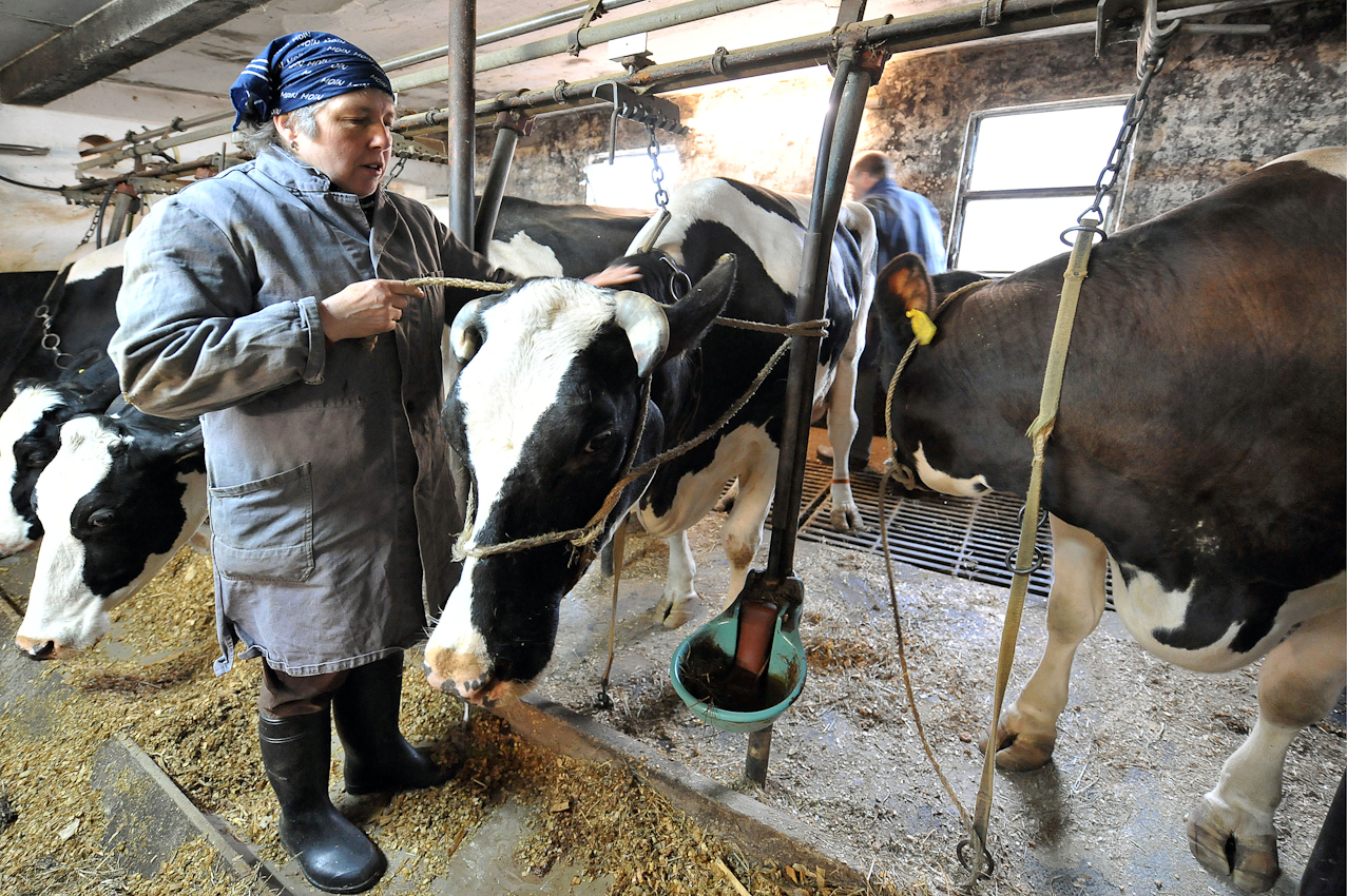 Die Landwirtin Marlene Gustke beruhigt am Freitag (07.05.2010) gegen halb acht Uhr morgens im niedersächsischen Cluvenhagen (Landkreis Verden) einer ihrer K?he. Zuvor musste diese vom Tierarzt behandelt werden, da sie Milchfieber hatte. Eigentlich wollte die Landwirtin ihre Kühe bereits um 6.30 Uhr gemolken haben. Eine kranke Kuh kam aber dazwischen und musst erst von einer Tierärztin behandelt werden. Der Hof Gustke zählt noch zu den alten kleinbauerlichen Vollerwerbsbetrieben, bei dem die gesamte Familie mit anpacken muss.