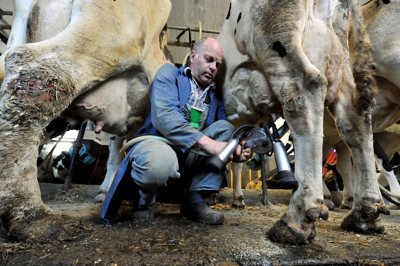 Der Landwirt Hans Gustke legt am Freitag (07.05.2010) gegen viertel nach sieben Uhr morgens im niedersächsischen Cluvenhagen (Landkreis Verden) einer Kuh das Melkzeug an. Eigentlich wollte der Landwirt seine Kühe bereits um 6.30 Uhr gemolken haben. Eine kranke Kuh kam aber dazwischen und musst erst von einer Tierärztin behandelt werden. Der Hof Gustke zählt noch zu den alten kleinbauerlichen Vollerwerbsbetrieben, bei dem die gesamte Familie mit anpacken muss.