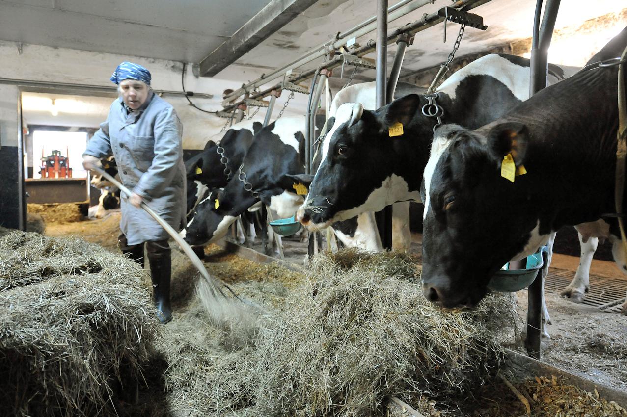 Die Landwirtin Marlene Gustke gibt am Freitag (07.05.2010) gegen halb acht Uhr morgens im niedersächsischen Cluvenhagen (Landkreis Verden) ihren Kühen Grassilagefutter. Zuvor wurden sie gemolken. Eigentlich wollte die Landwirtin ihre Kühe bereits um 6.30 Uhr gemolken haben. Eine kranke Kuh kam aber dazwischen und musst erst von einer Tierärztin behandelt werden. Der Hof Gustke zählt noch zu den alten kleinbauerlichen Vollerwerbsbetrieben, bei dem die gesamte Familie mit anpacken muss.