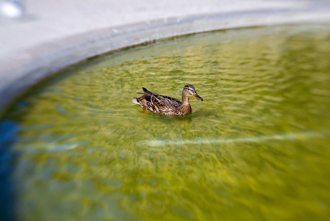 Ente im Franconia-Brunnen auf dem Residenzplatz der Residenz in Würzburg - UNESCO Weltkulturerbe.