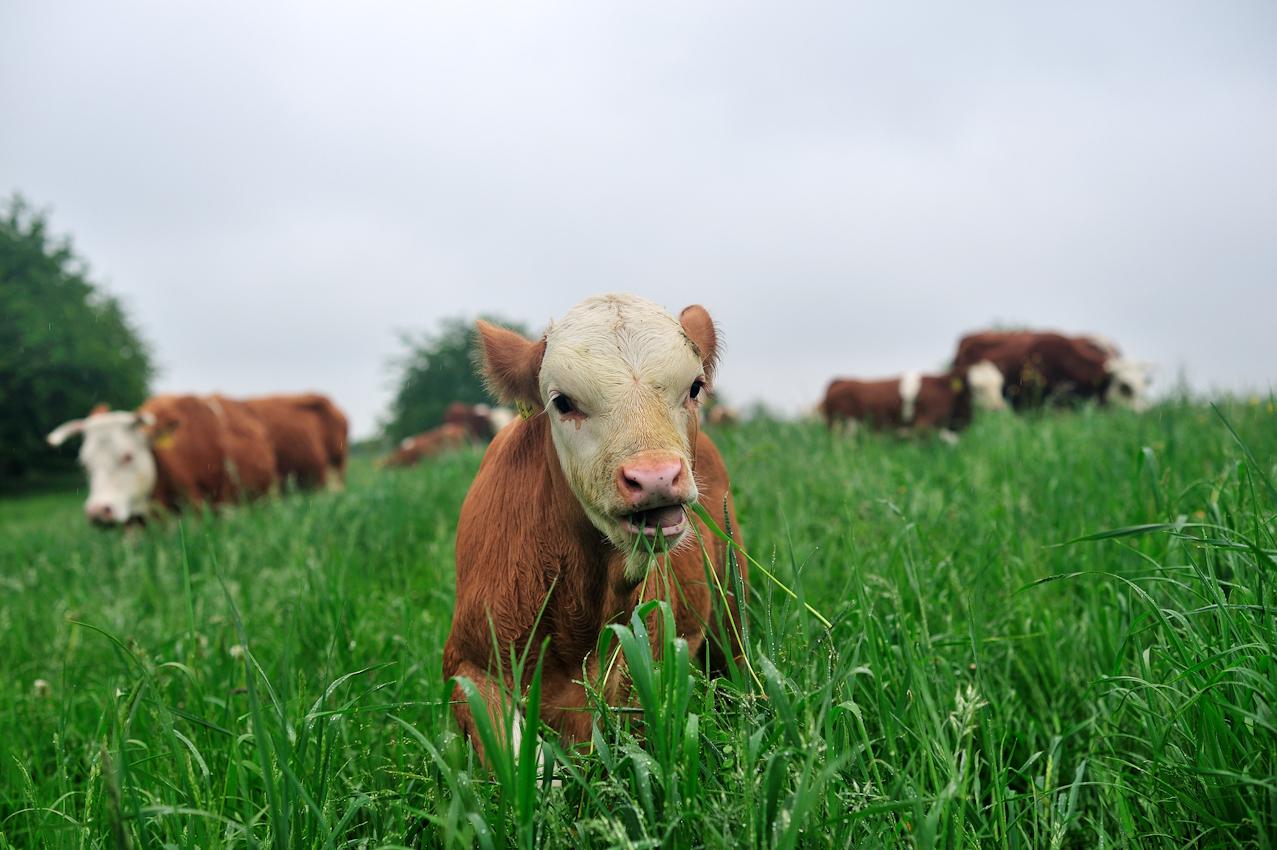 """Ein Hinterw?lder Kalb aus der Zucht der Familie Paul Franck, Weinbauern und Rinderzüchtern aus Leidenschaft. Die Familie Franck vertreten die """"slowfood"""" Initiative für nachhaltige Landwirtschaft. An diesem Tag wurden die Rinder mit Kälbern der alten Landrasse """"Hinterwälder"""" das erste Mal auf die saftigen Kraichgauwiesen geführt."""