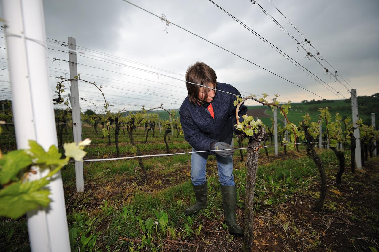 """Adeline Franck, Weinbäuerin und Rinderzüchterin aus Leidenschaft. In ihrem Weinberg im Kraichgau (""""Silberberg"""") führt Adeline im Mai sog. Ausputzarbeiten durch. Der Rebstock soll nur an den kräftigen Austrieben wachsen und Fruchtanlagen entwickeln. Adeline und ihre Familie vertreten die """"slowfood"""" Initiative für nachhaltige Landwirtschaft und bertreiben neben dem Weinbau auch Rinderzucht."""