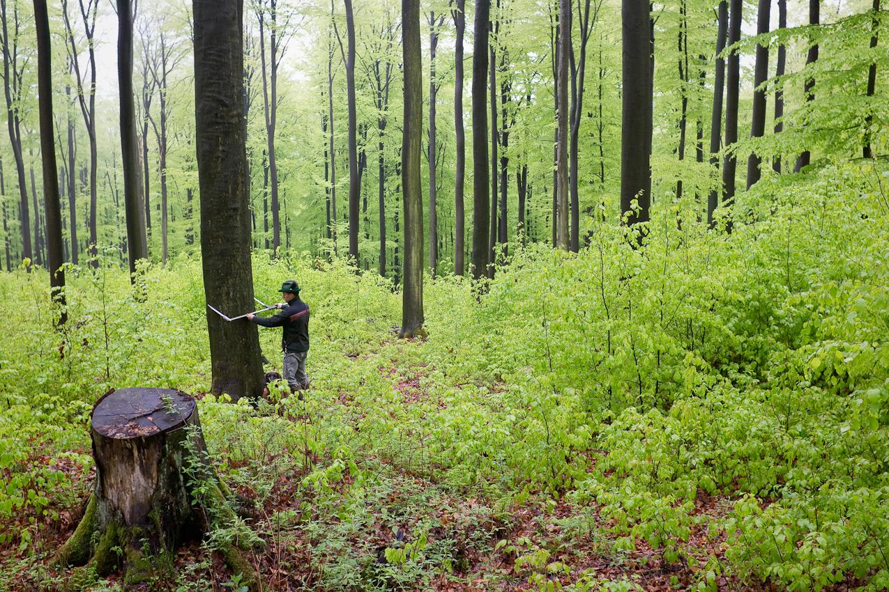 Brahmwald, Oedelsheim, Oberweser. Förster Gunter Mantel misst die Dicke einer Buche. Als Revierforster ist er fur die Bewirtschaftung des Waldes zuständig und muss eine vorgegebene Menge Buchenholz schlagen lassen. Das Holz geht dann per Container nach China und wird dort zu Möbeln verarbeitet.