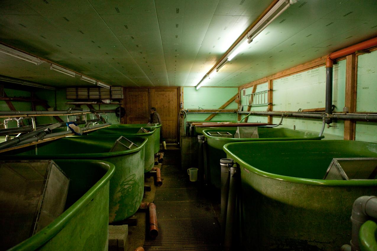 Der Fischer Johann Schuster im Bruthaus der Fischereigemeinschaft. Mit einem von ihm entwickelten Verfahren und mit ebenfalls von ihm speziell konstruierten Geraeten kuemmert er sich auch um die Aufzucht der Fische im Starnberger See, insbesondere um Renke und Hecht. In diesen Tanks befinden sich bereits kleine Fische. Da sie jedoch sehr empfindlich sind, muessen die Tanks regelmaeßig gereinigt werden.
