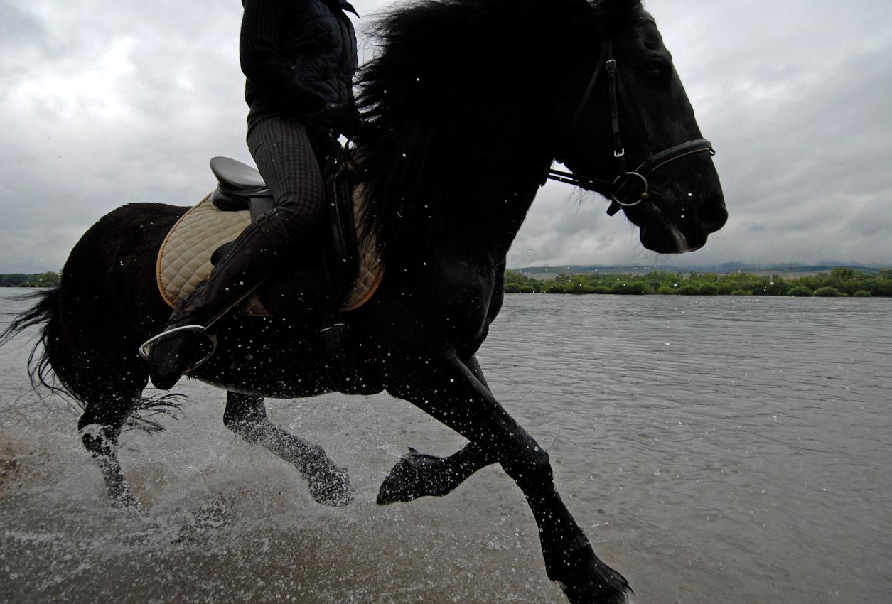 Black Beauty heißt in Wirklichkeit Havanne und galoppiert mit Temperament am Rheinufer von Heidenfahrt.