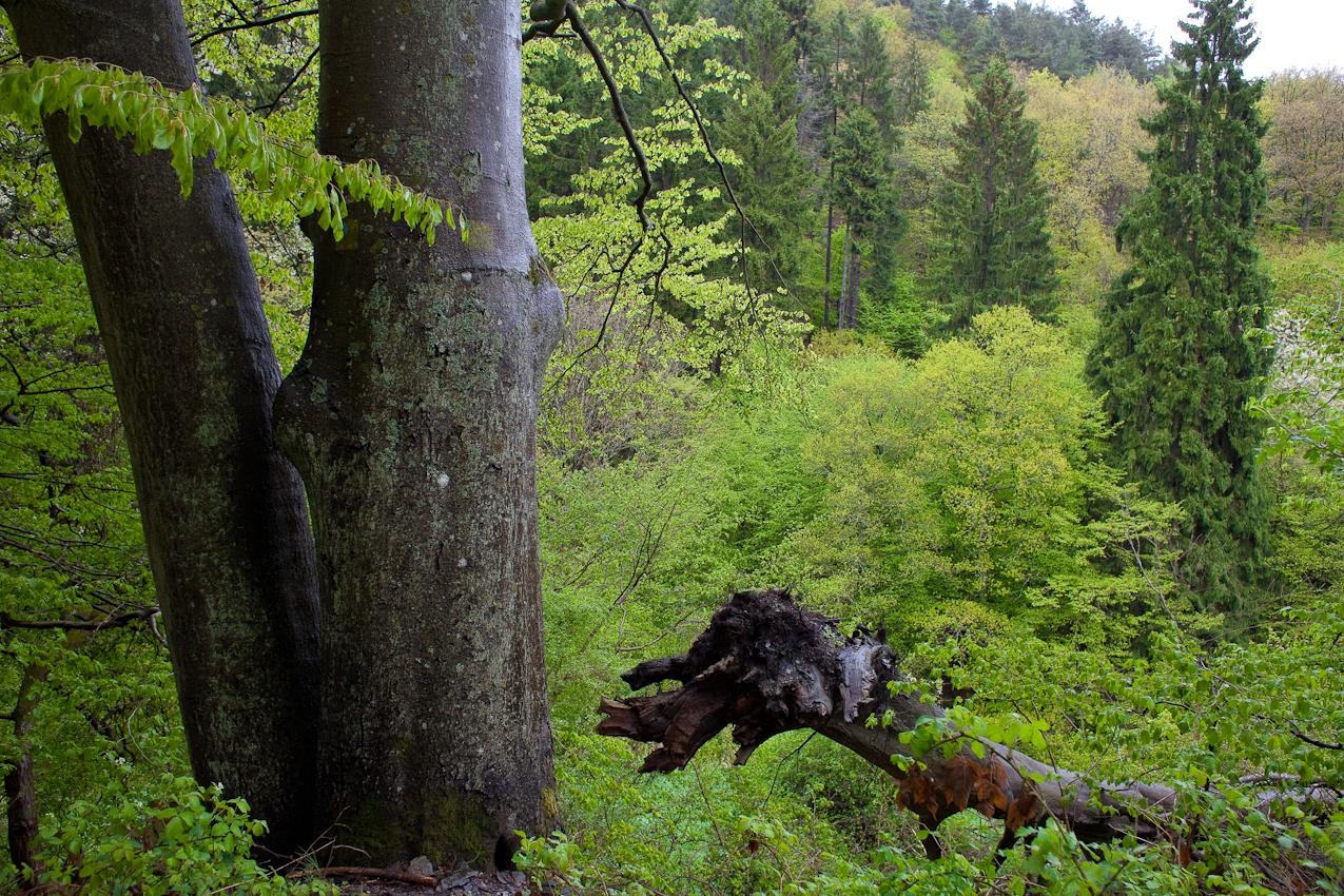 Impression: Der sich selbst überlassene (Ur)Wald des Nationalparks beeindruckt mit vielfaltigen Grüntönen.